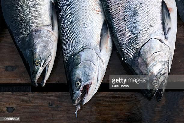 Silver Coho salmon on a dock in Alaska
