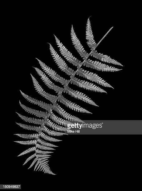 Silver fern leaf on a black background