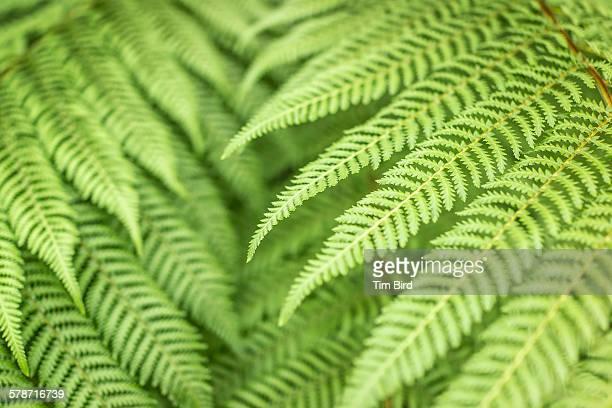 Silver fern plant