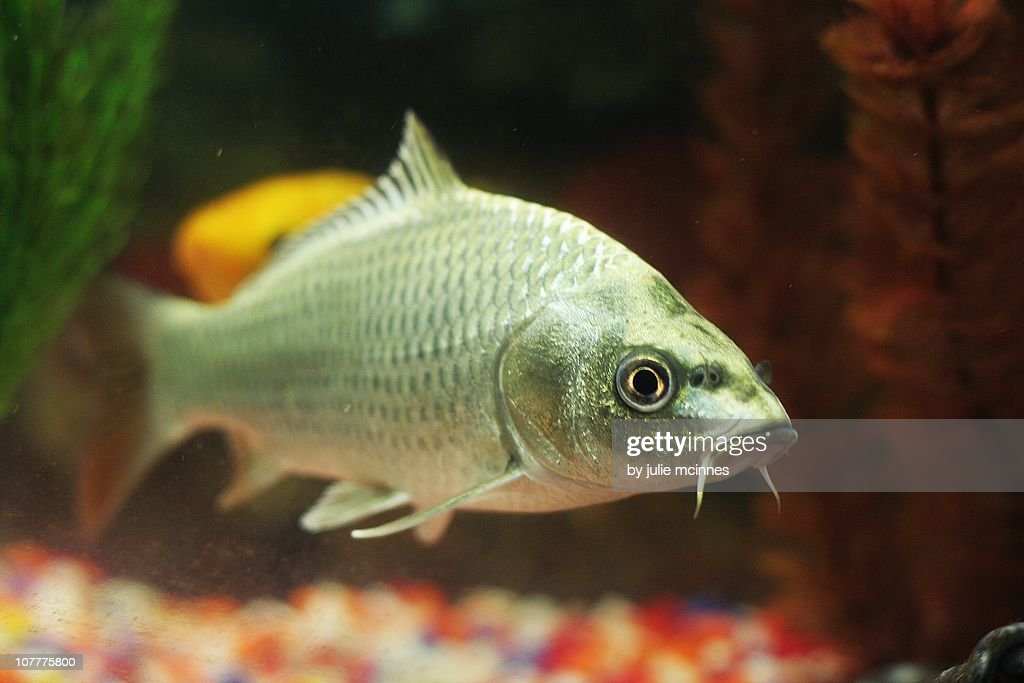 Silver goldfish  in tank : Stock Photo