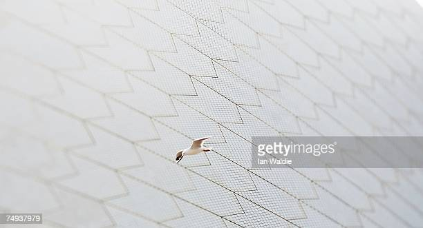 A Silver Gull flies past one of the sails of the Sydney Opera House June 28 2007 in Sydney Australia The Opera House designed by Joern Utzon and...