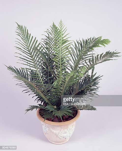 Silver lady or Dwarf tree fern Blechnaceae