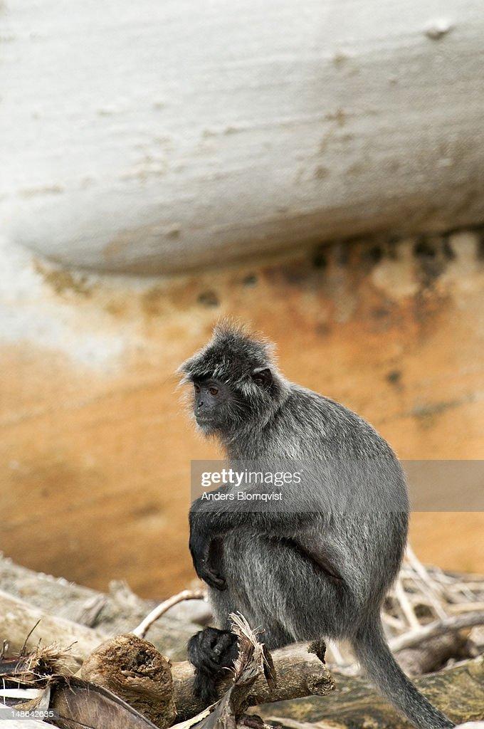 Silver leaf monkey (Trachypithecus cristatus) on Telo Paku beach. : Stock Photo