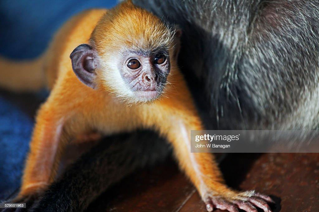 Silver leaf monkey or silvery lutung