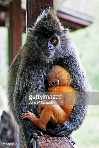 Silver leaf monkey or silvery lutung