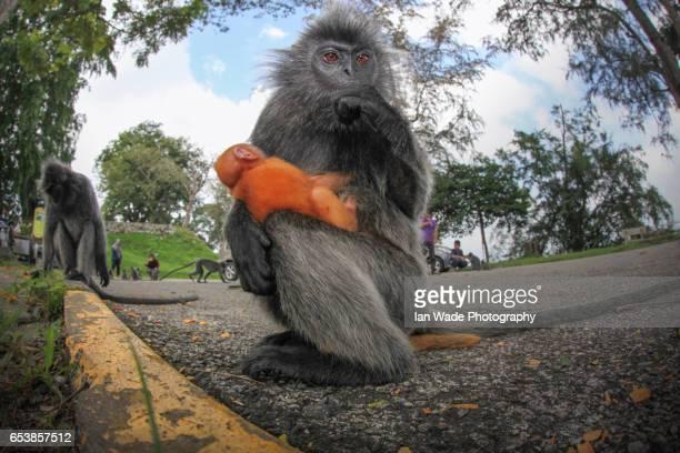 Silver Leaf Monkey with infant at kuala Selangor