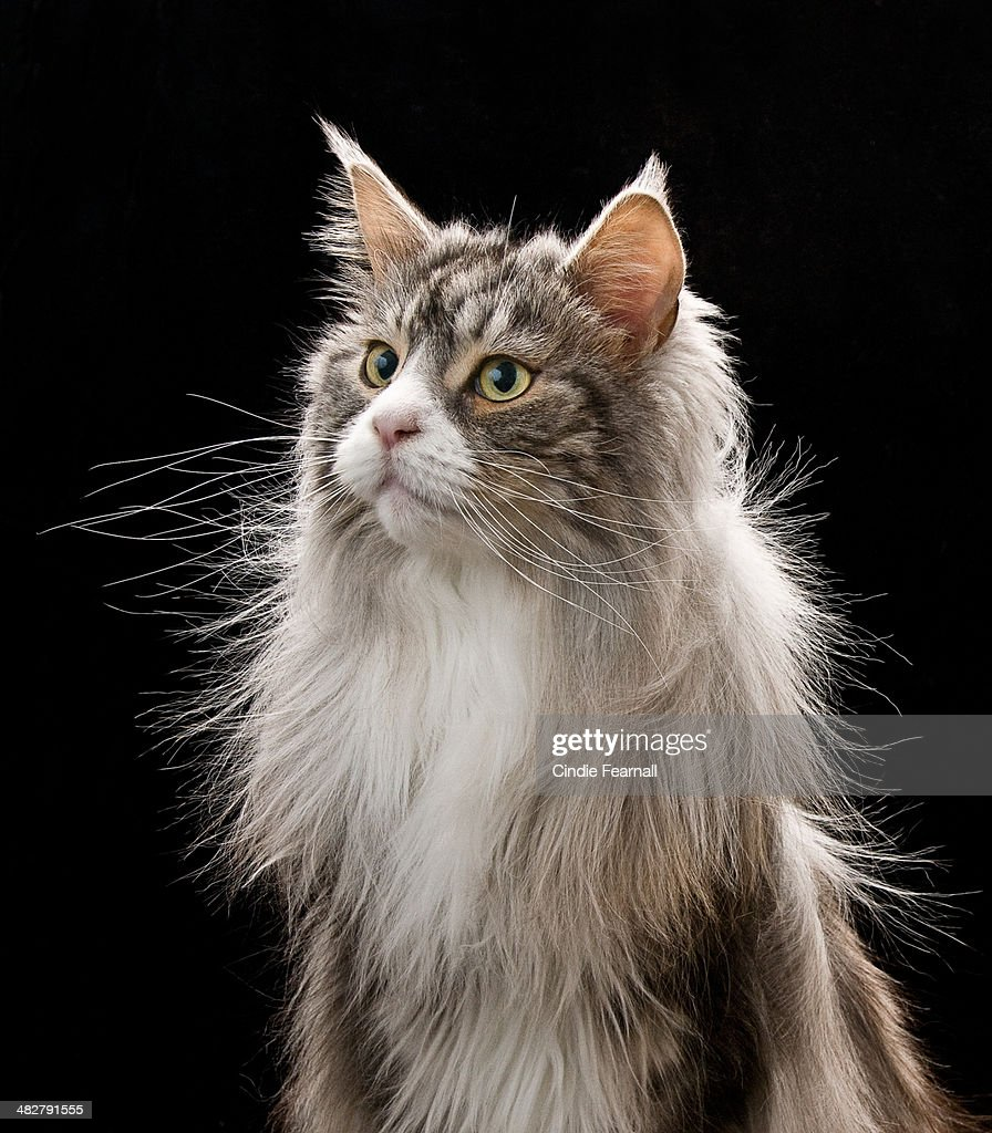 Silver Maine Coon Cat on Black Background