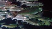 School of Coho Salmon.