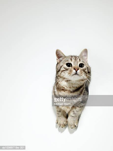Silver tabby squeezing through hole in the wall