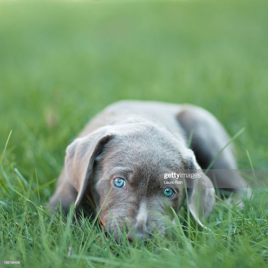 Blue eyed puppy resting on grass.