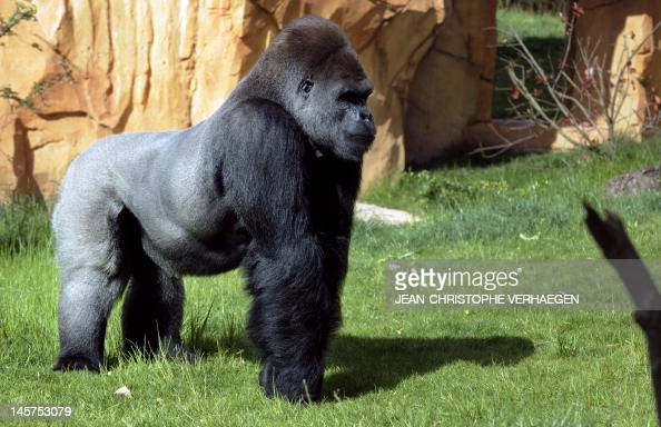 syndrome x and the silverback gorillas Crude historical depictions of african americans as ape-like may have disappeared from mainstream us culture, but research presented in a new paper by psychologists at stanford, pennsylvania state university and the university of california-berkeley reveals that many americans subconsciously associate blacks with apes.