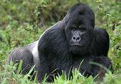 mountain gorilla from the virunga mountains, rwanda