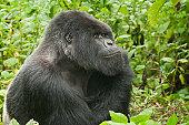 Silverback gorilla of Amahoro family in the Virungas National Park (Volcanoes Nat Park).