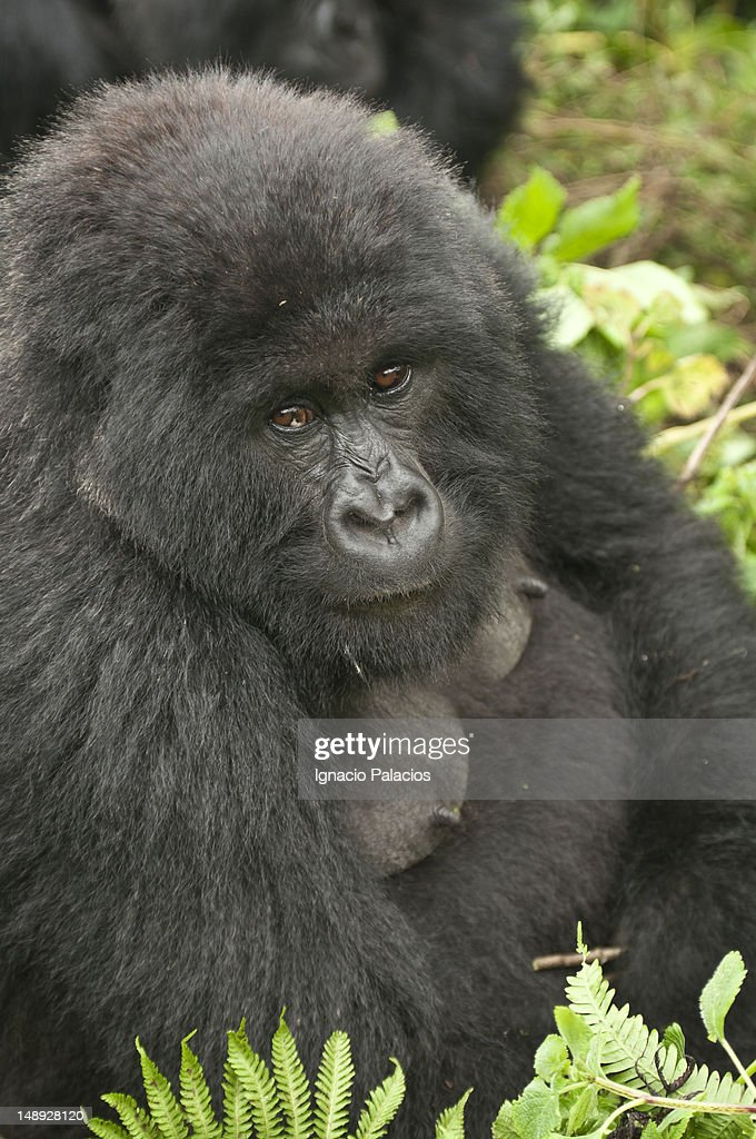 Silverback gorilla of Amahoro family in the Virungas National Park (Volcanoes Nat Park).