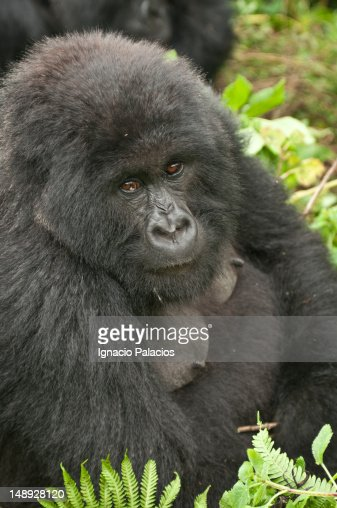 Silverback gorilla of Amahoro family in the Virungas National Park (Volcanoes Nat Park). : Stock Photo