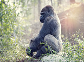 Silverback Gorilla sitting on a rock