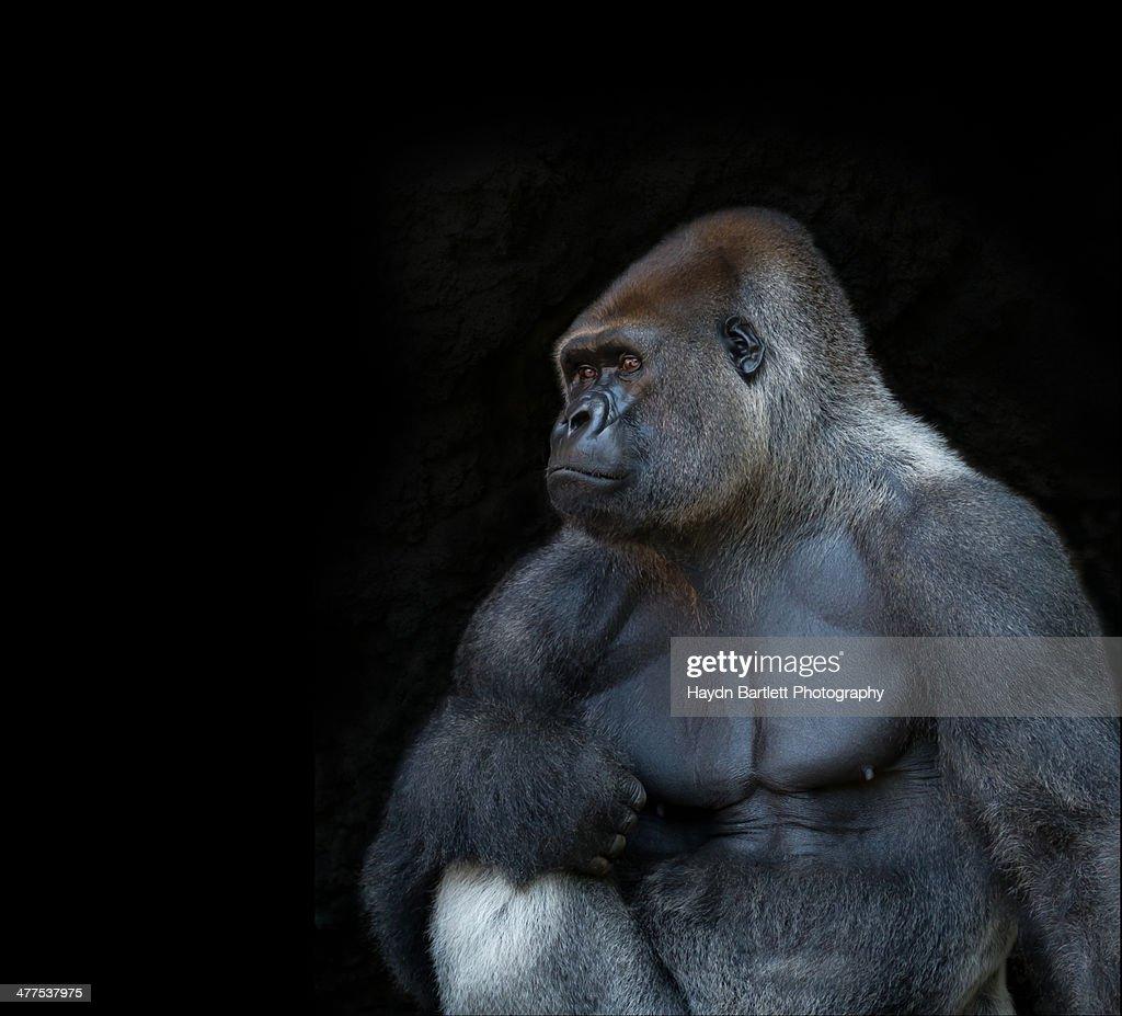 Silverback gorilla portrait in profile