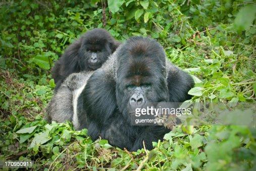 Silverback Gorilla with son on his back, Rwanda