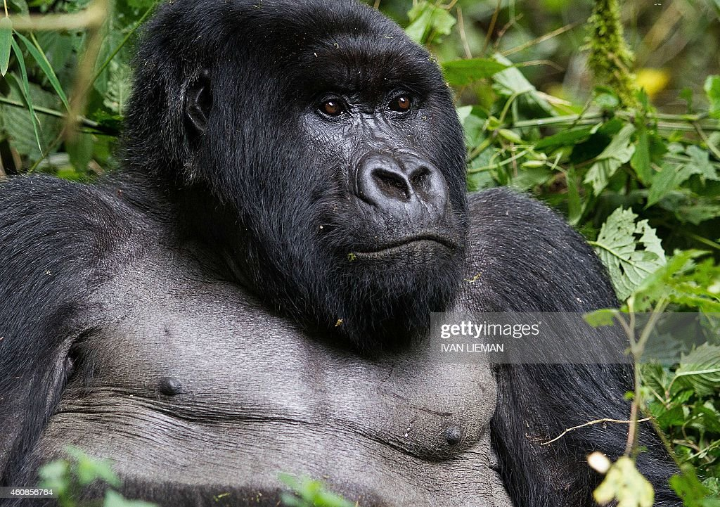 A silverback mountain Gorilla member of the Agashya family is pictured in the Sabyinyo Mountains of Rwanda December 27 2014 Rwanda well known for...