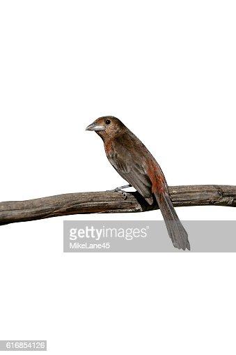 Silver-beaked tanager, Ramphocelus carbo : Stock Photo