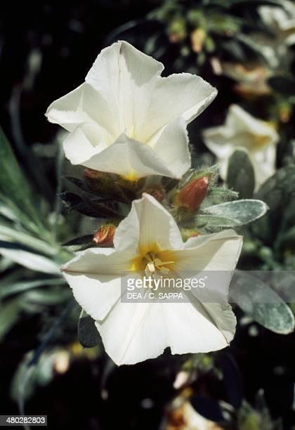 Silverbush Convolvulaceae