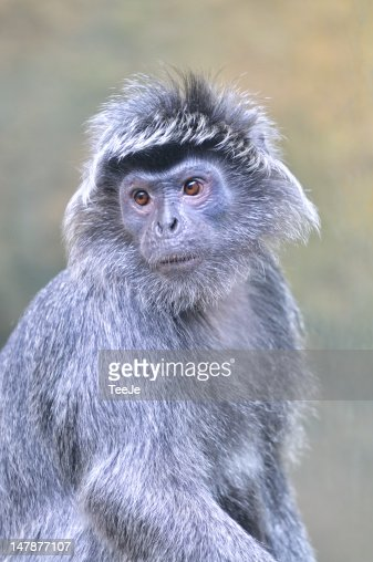 Silvered leaf monkey : Stock Photo