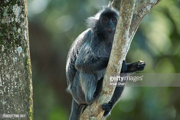 Silvered leaf monkey (Trachypithecus cristatus) sitting on branch