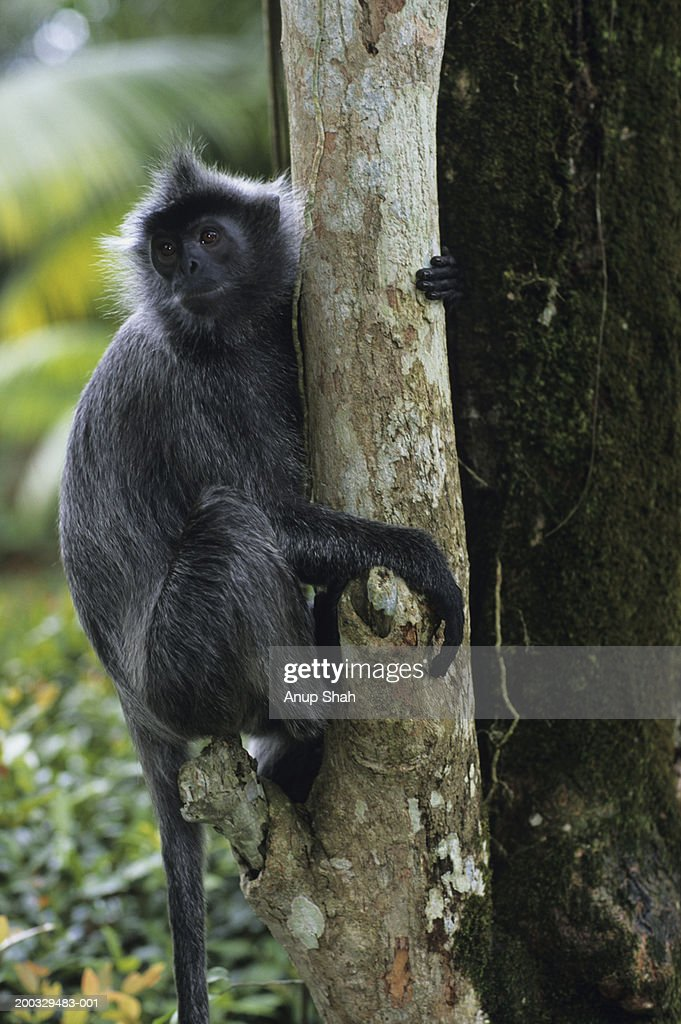 Silvered leaf monkey (Trachypithecus cristatus) sitting on tree trunk, South-Eastern Asia : Stock Photo