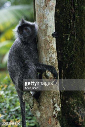 Silvered leaf monkey (Trachypithecus cristatus) sitting on tree trunk, South-Eastern Asia : Stock Photo