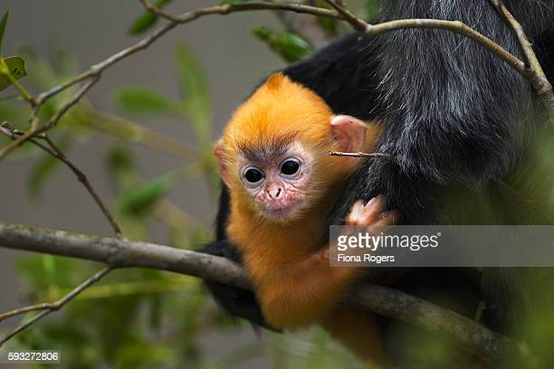 Silvered or silver-leaf langur baby aged 1-2 weeks sitting with its mother in a tree