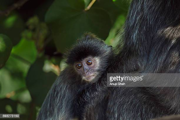 Silvered or silver-leaf langur baby aged 6-12 months sitting with its mother