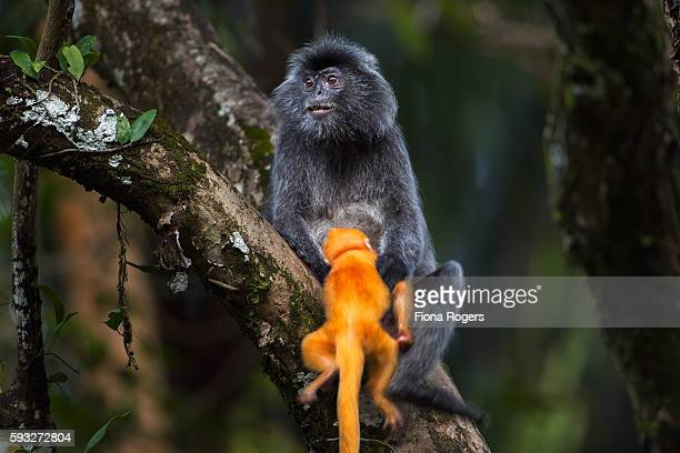 Silvered or silver-leaf langur female handling a baby aged 1-2 weeks very roughly
