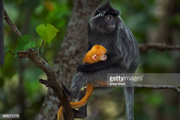 Silvered or silver-leaf langur female sitting in a tree with her baby aged 1-2 weeks