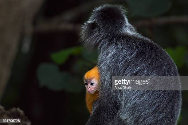 Silvered or silver-leaf langur female sitting with her baby aged 1-2 weeks