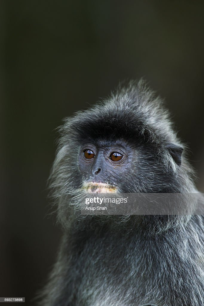 Silvered or silver-leaf langur head and shoulders portrait