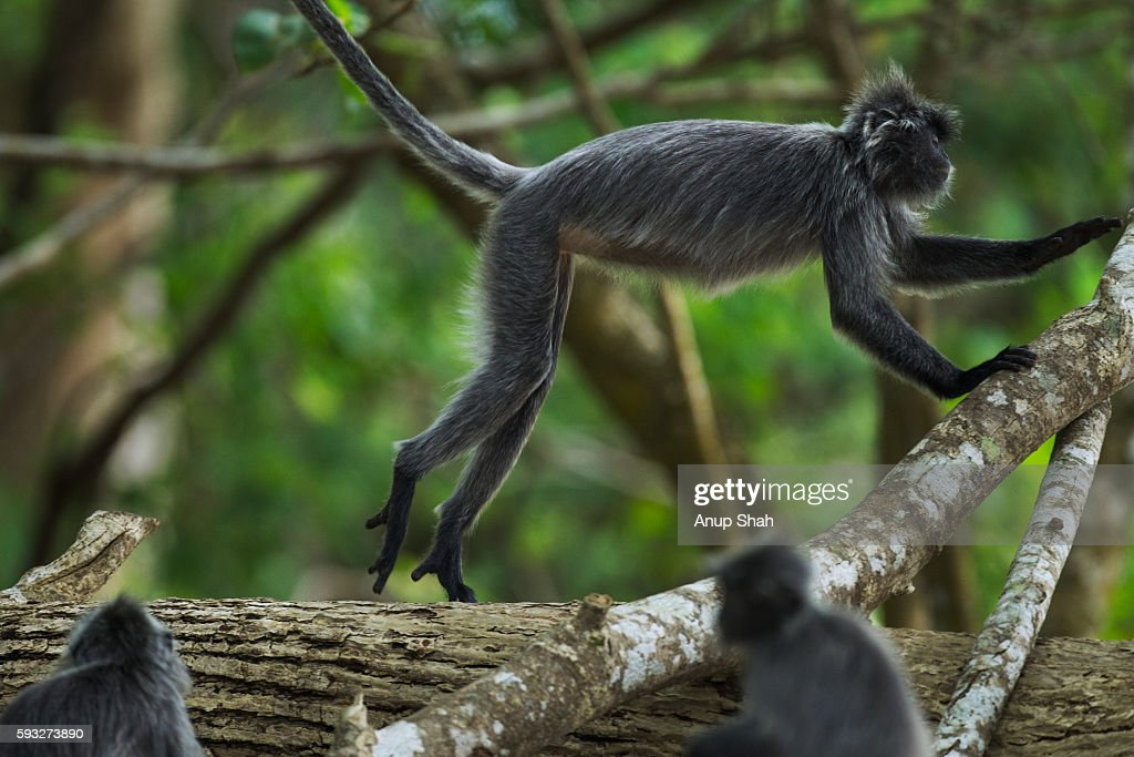 Silvered or silver-leaf langur jumping up on a branch
