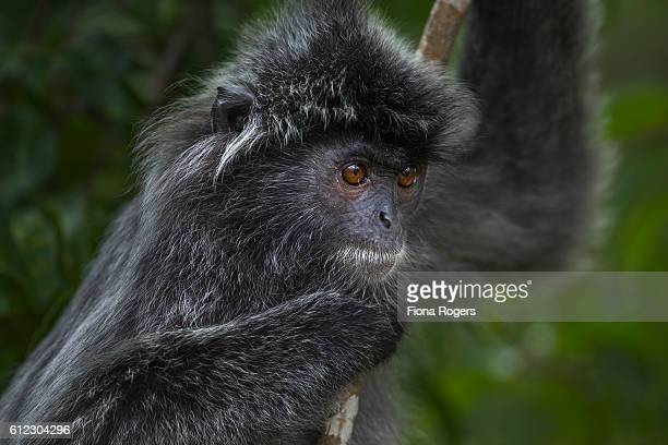 Silvered or silver-leaf langur juvenile clinging to a branch