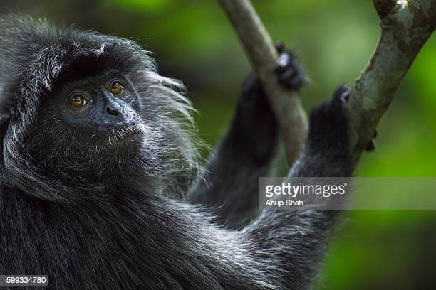 Silvered or silver-leaf langur male head and shoulders portrait