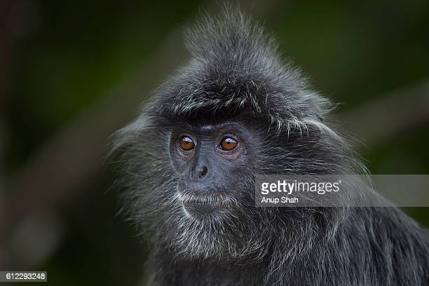 Silvered or silver-leaf langur young male head and shoulders portrait