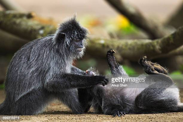 Silvered or silver-leaf langurs play fighting