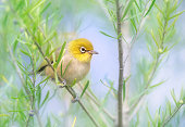 Silvereye (Zosterops lateralis) perched on branch
