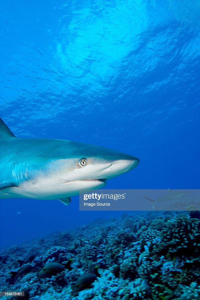 Silvertip shark : Stock Photo