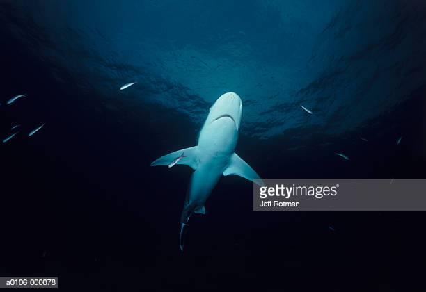 Silvertip Shark with Fishes