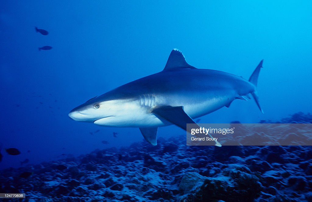 silvertip shark,carcharhinus albimarginatus, swimming, polynesia