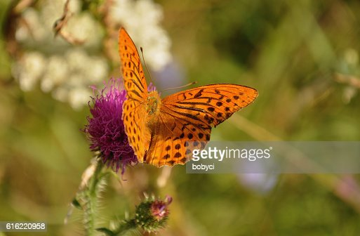 Silver-washed fritillary (Argynnis paphia : Stock-Foto