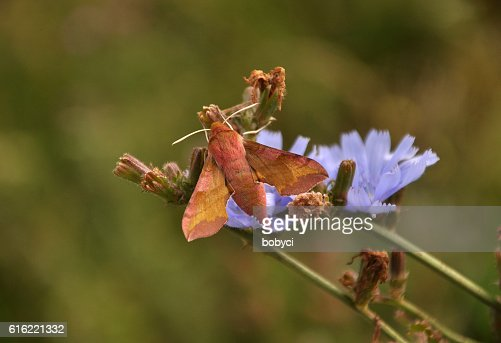 Silver-washed fritillary (Argynnis paphia) : Stock Photo