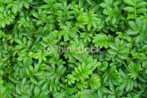 Silverweed (Potentilla anserina) : Stock Photo