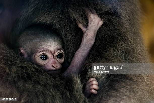Silvery gibbon Alangalang holds her sevenoldday baby at Prague Zoo on August 3 2015 in Prague Czech Republic According to Prague Zoo the baby is the...