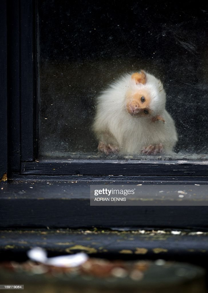 A silvery marmoset looks through a window to check for food at Whipsnade Zoo on January 8, 2013. The zoo is kicking off the New Year with its annual animal stocktake. Home to more than 2,500 animals, the compulsory count is required to have a zoo license. All of the information is logged into the International Species Information System, where it's used to manage the international breeding programmes for endangered animals.