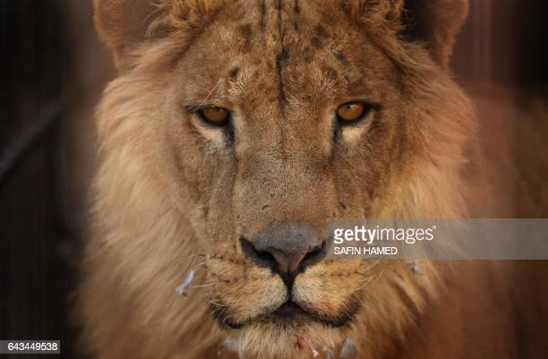 Simba an abandoned lion stands in its cage before receiving treatment from members of the international animal welfare charity 'Four Paws' at the...